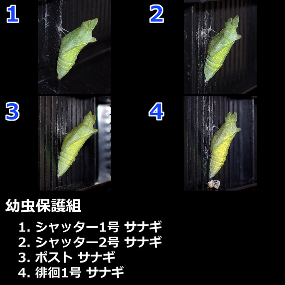 ナミアゲハまとめ~幼虫保護組