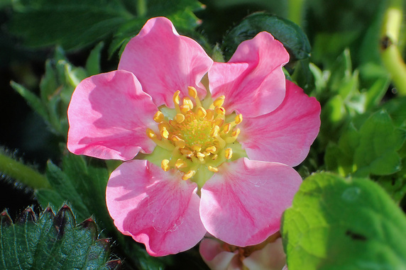 四季なりイチゴ開花中