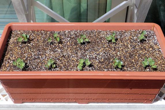 小松菜と葉大根が発芽