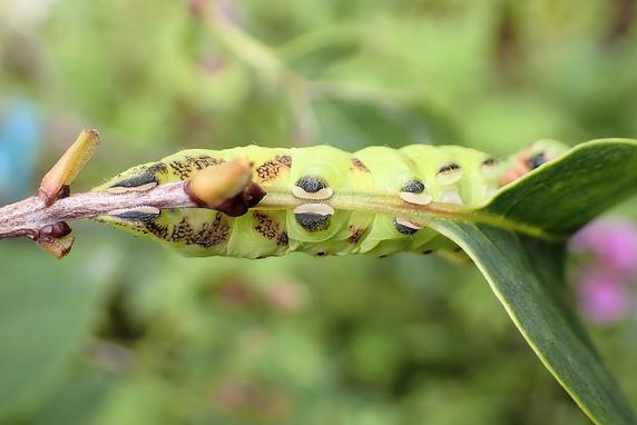 色が変わるシモフリスズメの終齢幼虫