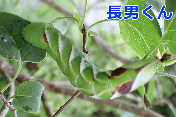 6匹確認シモフリ幼虫