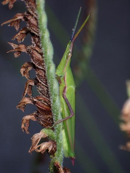 オンブバッタのオス成虫