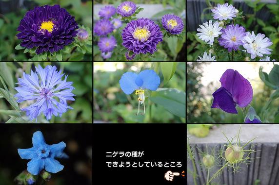 菊系が増えてきたブルーフラワー花壇