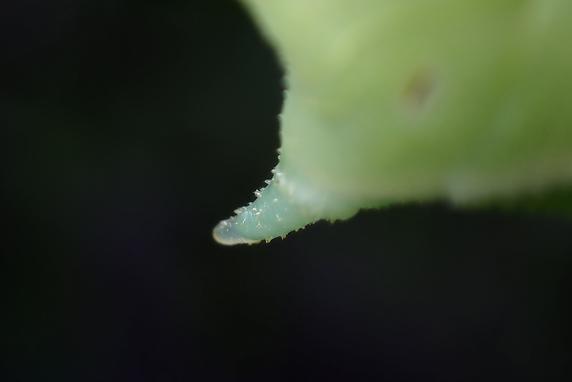 食欲旺盛シモフリスズメ幼虫