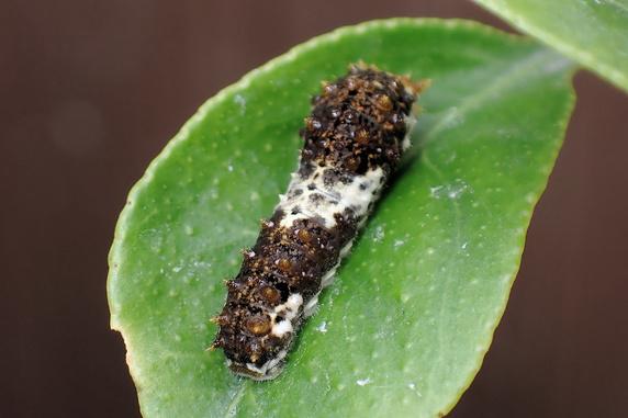 大きくなるナミアゲハの幼虫
