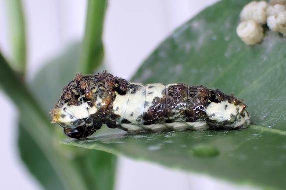 4齢以下のナミアゲハの幼虫