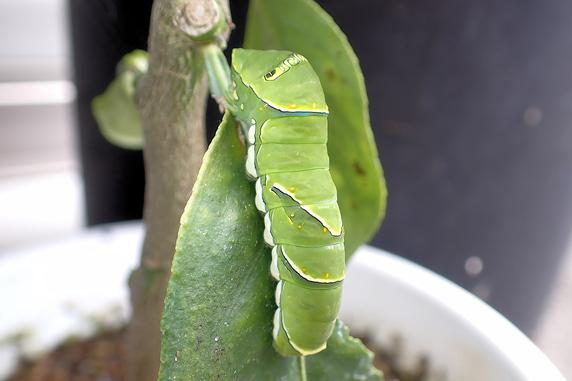 アゲハ幼虫の引っ越し