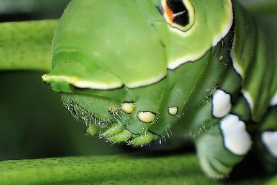 2匹旅立ったアゲハ幼虫