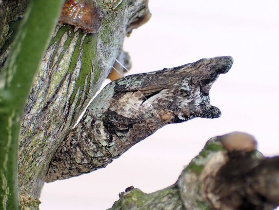 食樹でサナギになる事象発生
