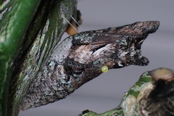 様々なアゲハの幼虫