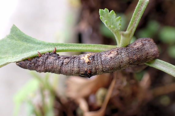 ヨモギエダシャクの幼虫発見