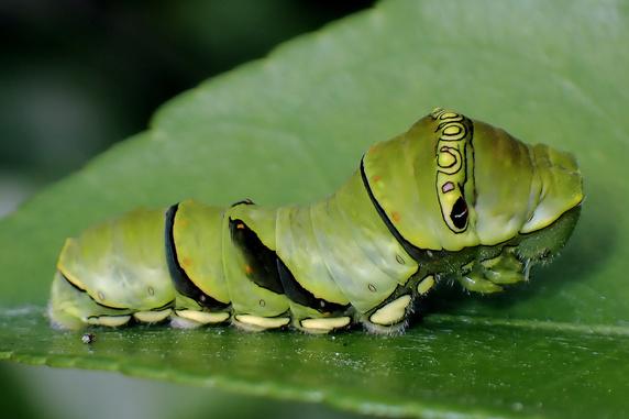 大小約20匹のナミアゲハ幼虫