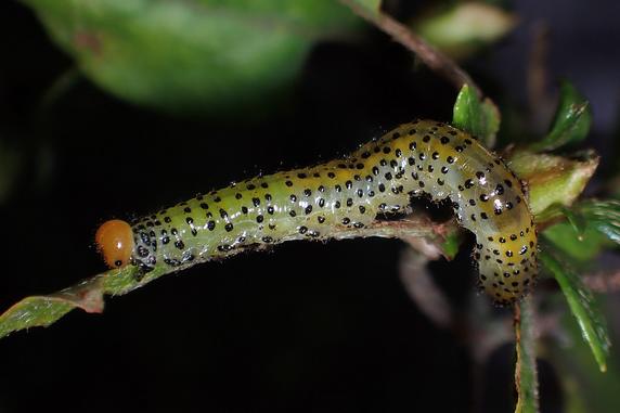 ルリチュウレンジの幼虫