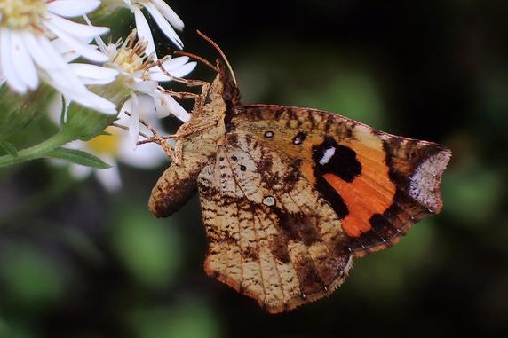 イカリモンガという蛾