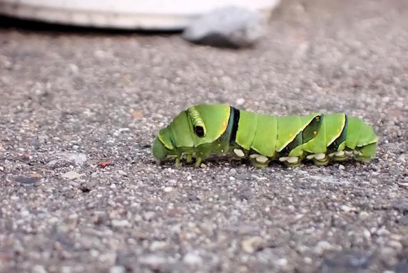 ナミアゲハ幼虫の旅立ち