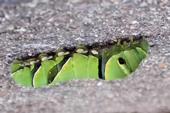蛹化場所を決めたナミアゲハ幼虫