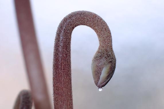 いつの間にかシクラメンの種が発根