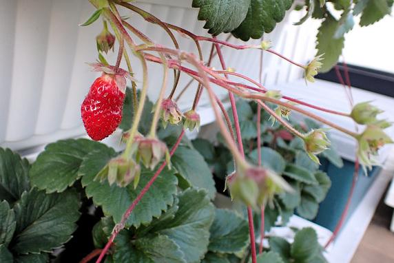 四季なりイチゴの定植