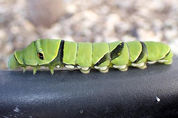 ナミアゲハ幼虫を保護