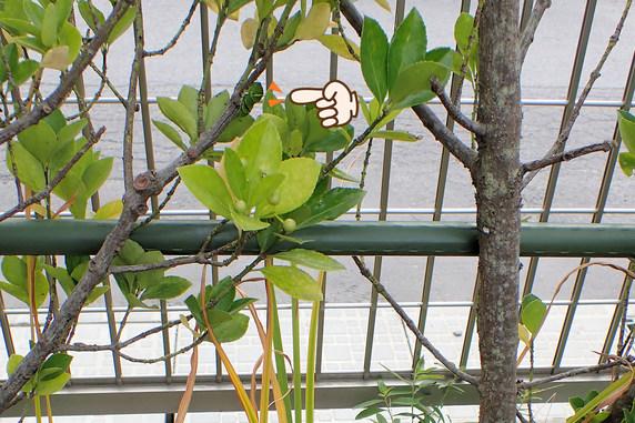 またナミアゲハ幼虫の前蛹を発見