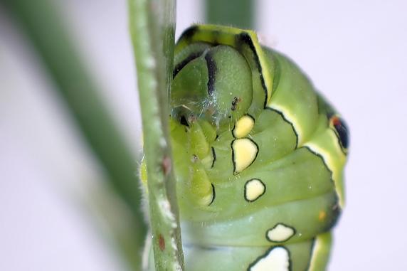 最後のナミアゲハ幼虫の旅立ち