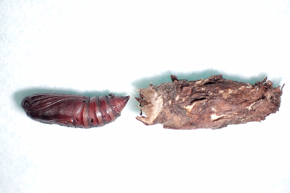 1.5cmのサナギを保護