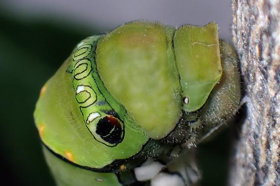 ナミアゲハの前蛹がサナギになった
