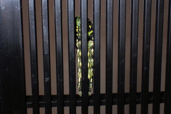 ナミアゲハ幼虫を緊急確保