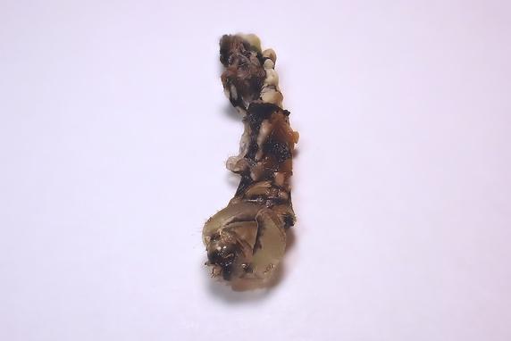 ナミアゲハの蛹化時の抜け殻を伸ばしてみた