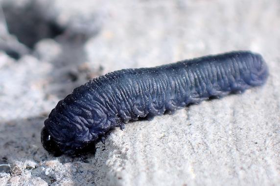 カブラハバチの幼虫登場