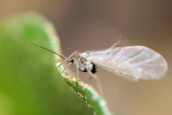 有翅型のアブラムシが飛び交う