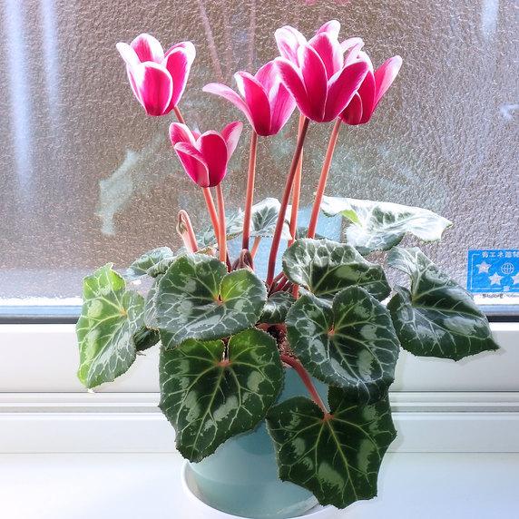 着々と咲くシクラメンの花