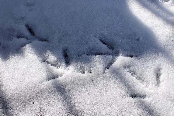 足跡を残すキジバト
