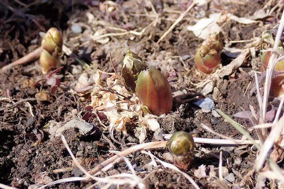 福寿草が芽を出す