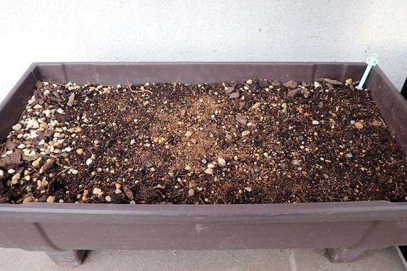 クロッカスの芽が伸びる
