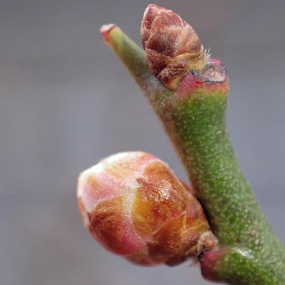 小梅が大量開花かもしれない件