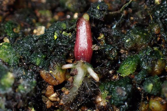 種を蒔いたツユクサが発芽