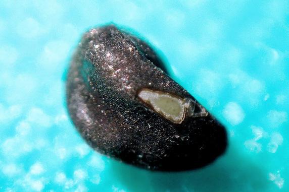 マルバアサガオの種蒔き