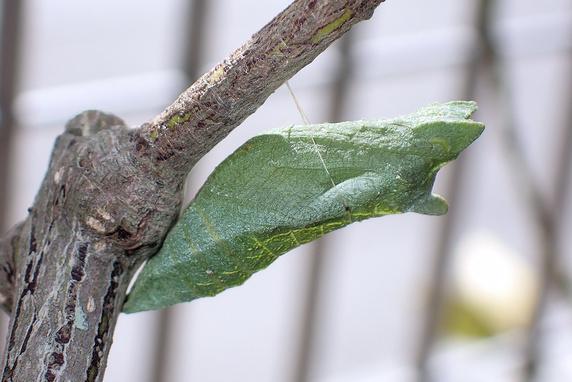 春を待つナミアゲハのサナギ