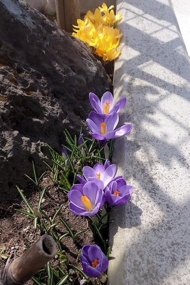 クロッカス咲き揃う