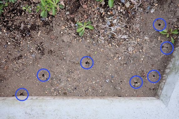 クロヤマアリの巣穴確認