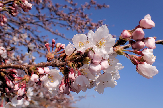 桜前線到達