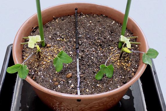 マルバアサガオを定植