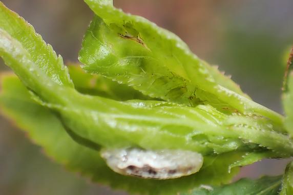 アブラムシとヒラタアブの幼虫
