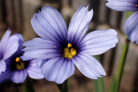 シシリンチウムの花開く