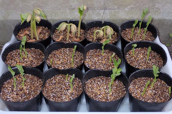 芽を伸ばすスナップエンドウとインゲン