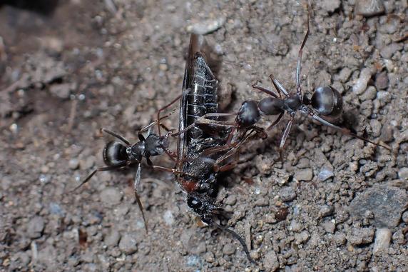 ハバチを運ぶクロヤマアリ