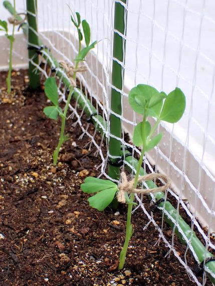 ミニトマト支柱構築とスナップエンドウ定植