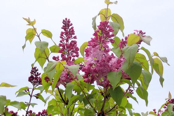 庭のライラックが開花