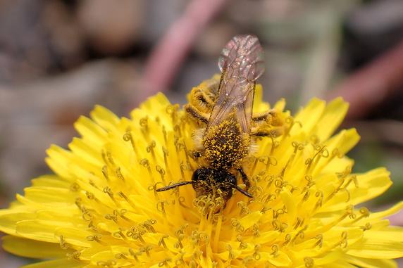 花粉まみれのハチ
